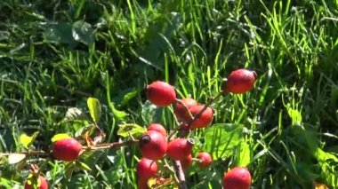 Wild rose hips fruits on branch in autumn — Stock Video