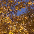 Beautiful autumn time birch forest — Stock Video