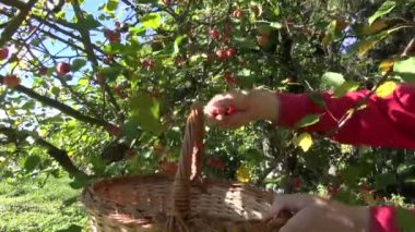 Picking small crab apples from tree in autumn — Wideo stockowe