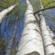 Beautiful spring birch forest — Stock Photo