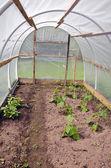 Wiosna ogórek sadzonka kapusty w plastycznej szklarni — Zdjęcie stockowe