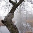 Old apple tree near river and autumn mist — Stock Photo