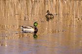 Para kaczka krzyżówka na jesień jezioro wody i pierwszym lodzie — Zdjęcie stockowe