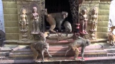 Monkey  on swayambhunath stupa golden sacrificial altar in Kathmandu, Nepal — Vídeo de stock