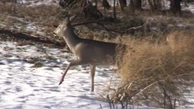 Roe deer in winter farm garden — Stock Video