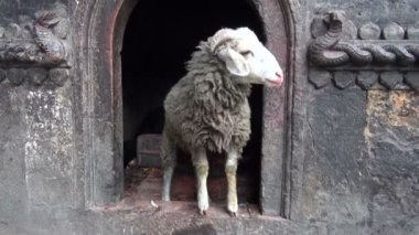 Ram in  buddhist temple in Katmandu, Nepal — Stock Video