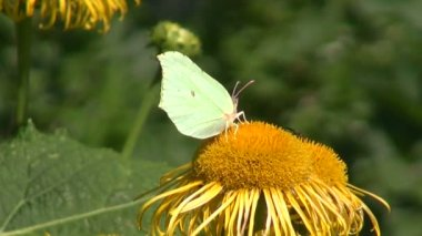 Brimstone butterfly, Gonepteryx rhamni on summer flower — Stock Video
