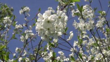 Linda árvore de cereja em flor no jardim primavera — Vídeo stock