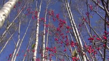 Autumn forest and red European spindle (Euonymus europaeus) berry — Stock Video