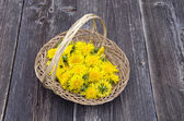 Fresh spring dandelion medical flowers for food — Stock Photo