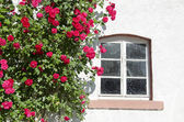 Beautiful rose bush near window on wall — Stock Photo