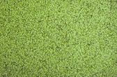 Duckweed covered on the water surface  — Stock Photo