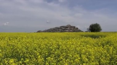 Old straw bales stack on beautiful yellow rapeseed field — 图库视频影像