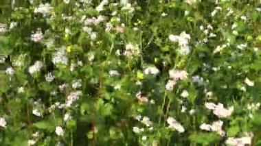 Beautiful summer time blossoming  buckwheat agriculture field — Stock Video