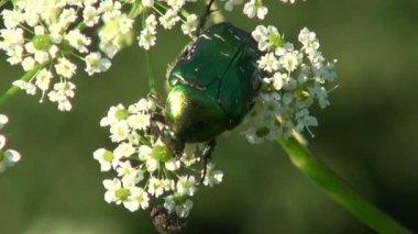 Beautiful bug beetle chafer Cetonia aurata — Stock Video