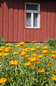 Calendula marigold medical flowers in farm  near house — Stock Photo