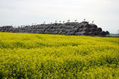 Big group white storks on straw bales and yellow rapeseed field — Stock Photo
