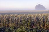 Final mañana paisaje con niebla y trigo de verano — Foto de Stock