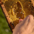 Beekeeper showing honeycomb frame — Stock fotografie