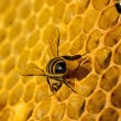 Bees work on honeycomb — 图库照片