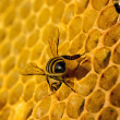 Bees work on honeycomb — Stock fotografie #35475657