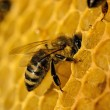Bees work on honeycomb — Foto de Stock