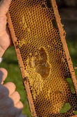 Beekeeper showing honeycomb frame — Stock Photo