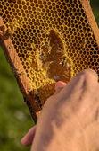 Včelař ukazuje včelí plástve rám — Stock fotografie