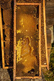 Honeycomb frames filled with honey — Foto Stock