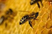 Werk van de bijen op de honingraat — Stockfoto