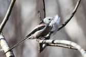Long-tailed Tit — Stock Photo