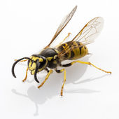 Wasp isolated — Stock Photo