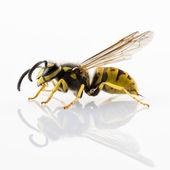 Wasp isolated — Stock Photo