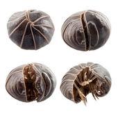 Pill-bug armadillidium vulgare — Stock Photo