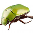 Green beetle species Anomala dimidiata — Stock Photo