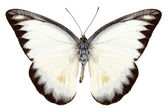 White butterfly species Appias lyncida — Stock Photo