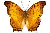 Butterfly species Vindula dejone austrosundana — Stock Photo