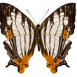 Butterfly species Cyrestis lutea martini — Stock Photo