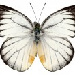White butterfly species Delias baracasa - Stock Photo