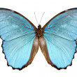 Butterfly species Morpho menelaus alexandrovna - Stock Photo