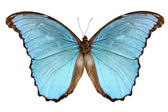 Schmetterling Arten Morpho Menelaus Alexandrowna — Stockfoto
