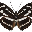Butterfly species Athyma reta moorei - Stock Photo