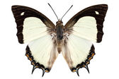 Butterfly species Polyura jalysus — Stockfoto