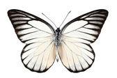 Butterfly arter prioneris philonome — Stockfoto