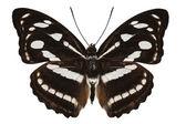 Butterfly species Athyma reta moorei — Stock Photo