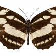 "Butterfly species Neptis hylas ""Common Sailer"" — Stock Photo"
