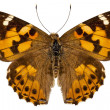 "Butterfly species Vanessa cardui ""Painted Lady"" - Stock Photo"