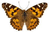 "Butterfly species Vanessa cardui ""Painted Lady"" — Stock Photo"