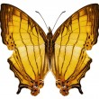 "Butterfly species Cyrestis lutea ""Orange Straight-line"" — Stock Photo"