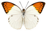 "Butterfly species Hebomoia glaucippe ""Great Orange Tip"" — Stock Photo"